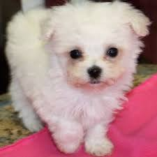 where to find teacup poodle puppies for