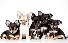 chihuahua wallpapers top free