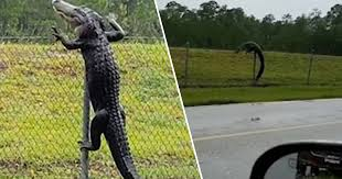 Alligator Filmed Climbing Over Fence And Making Way Into Military Base Unilad