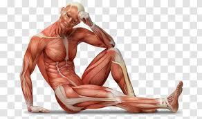 Human Body Anatomy Muscle Tissue Wall Decal Cartoon Anatomia 100 Cwiczen Dla Biegaczy Transparent Png