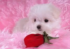 cute puppy wallpaper free