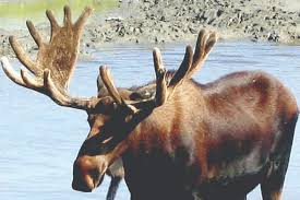 Similkameen Police Officer Uses Bolt Cutters To Free Young Moose Caught In Fence Summerland Review