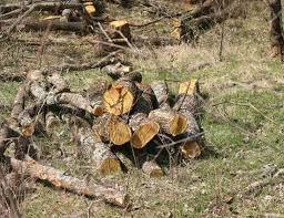 Cutting Osage Orange Fenceposts Untreated Hedge Lasts Like Steel