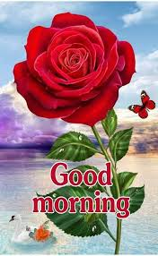 big red rose good morning image