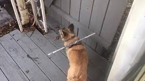 Hilarious Video Shows Baffled Dog Struggle To Get Through Gate Daily Mail Online