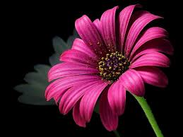 تنزيل صور ورد تحميل اجمل صور الورد والازهار عبارات