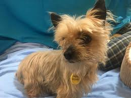 Available for adoption Yorkshire Terrier Polly West Lothian