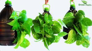 money plant growing idea in plastic