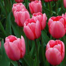 Tulip Pink Impression | White Flower Farm