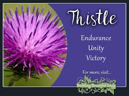 thistle meaning symbolism flower