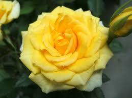 drops yellow rose ค นหาด วย google