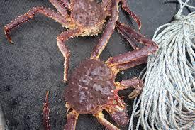 Arctic crab invasion reaches new shores ...