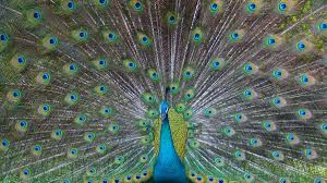 Peacock displays impressive plumage, dances around in Mumbai ...