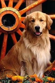 golden retriever dog hd wallpapers