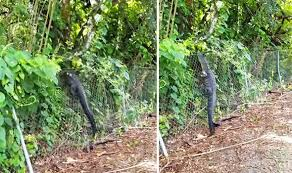Watch Jaw Dropping Moment Nimble Alligator Effortlessly Climbs Fence At Golf Course World News Express Co Uk