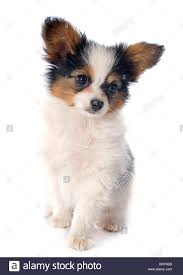papillon puppy in front of white background Stock Photo - Alamy