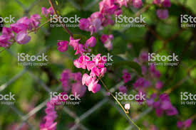 Tropical Flower In Sunny Garden Photo Sweet Peas Closeup On Fence Stock Photo Download Image Now Istock