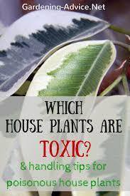 poisonous house plants toxic house