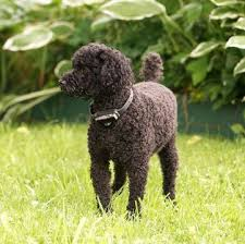 poodle miniature puppies