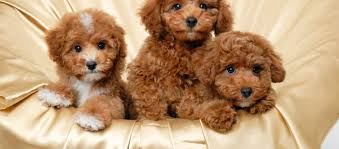 poodle puppies or adoption in