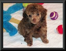 tiny toy and teacup poodle puppies