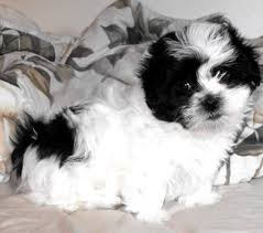 shih tzu bichon poodle mix puppies for