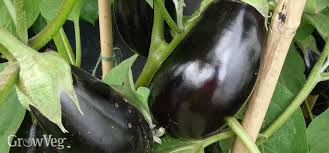 how to grow eggplant in cooler climates