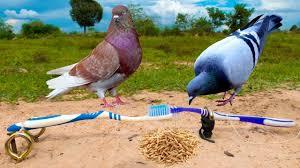 diy bird trap using toothbrush pigeon