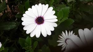 زهور الورد مع بداية فصل الربيع ورد أبيض ورد أصفر في ورده واحدة
