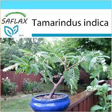 seeds bonsai tamarind dattier