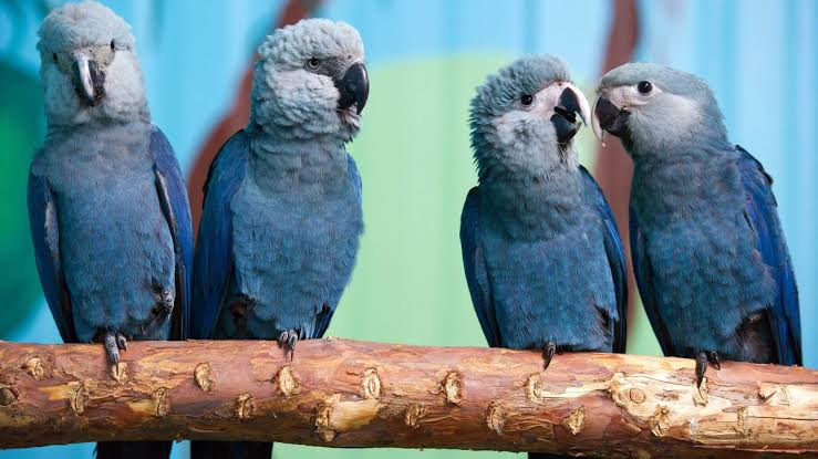 spix macaw extinct