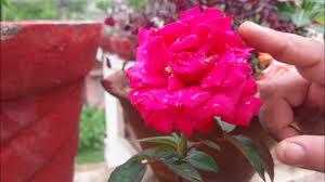 ورد جميل جدا معلومات مفيده هتفاجئك عن الورد قبلات الحياة