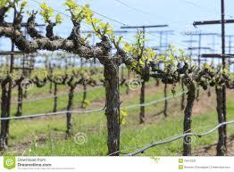 Grapevine In Spring Grape Trellis Grape Vine Trellis Grapes