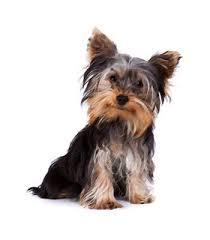 miniature yorkie dog breeds