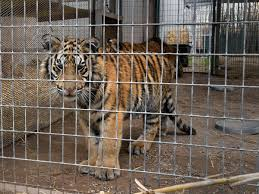The Problem With Exotic Animal Ownership In America The Independent The Independent