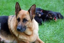 german shepherd growth chart puppy
