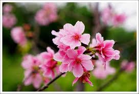 En češnjev cvet … | Sofijin svet