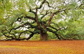Angel Tree | Angel oak trees, Live oak trees, Angel oak