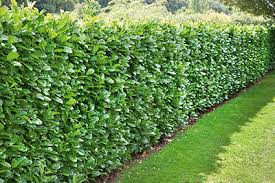 Fast Growing Hedges For Privacy Instanthedge Blog
