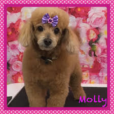 adopted honolulu hi apricot toy poodle