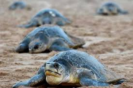 Olilve Ridley Turtles Odisha Communities Embrace Mission To Save Threatened Species