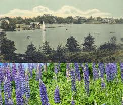 How the Real Miss Rumphius Decorated Maine With Lupines - New England  Historical Society