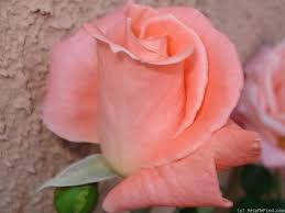Pin by Katherine McShea on Favorite Flowers | Rose, Rose photos, Flowers