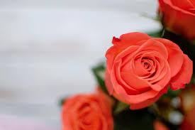 white rose wallpaper photo for mobile
