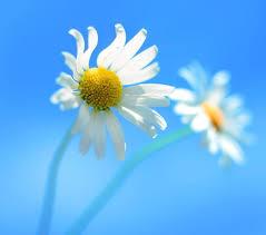 خلفيات ورد ابيض White Roses Wallpapers Hd صور ورد وزهور Rose