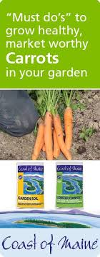 Coast of Maine's Felicia Newman is well known for growing amazing carrots.  As a market gardener, it is i… | How to plant carrots, Growing carrots,  Carrot gardening