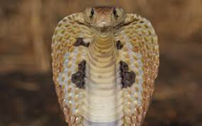 king cobra snake wallpaper s