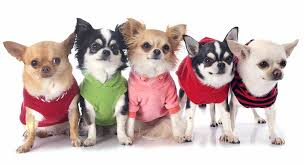 25 fascinating chihuahua facts that