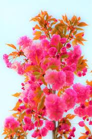 صورة عالية الدقة خالية من الكرز زهرة الطبيعة الربيع جميلة