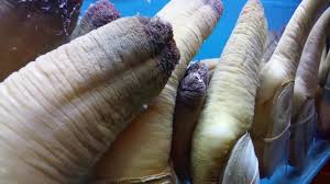 ♥Geoducks Selling Aquarium Huge Geoduck ...